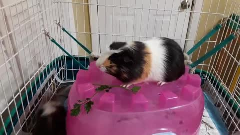 GUINEA KING OF THE CASTLE