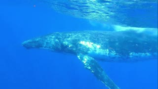 Humpback whale sings his heart out while circling Tonga Islands Also