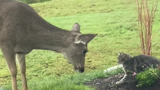 Cat and Deer Almost Kiss