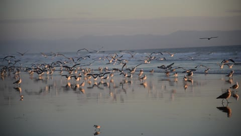 Seaguls and other ocean birds on Sunset beach in California