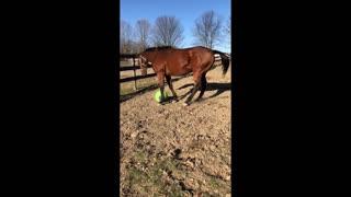 My horse Loves his Jolly Tug Ball