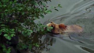 Brown Bear - 4K Video