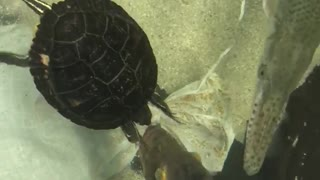 Turtle Gets Cheeky with Bass