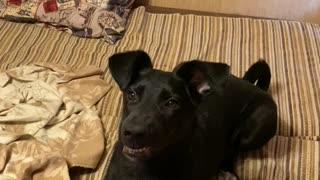 Barking black dog