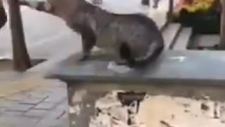 Angry Cat Fight With Human
