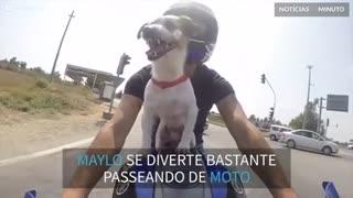Cão adora andar de mota com o seu dono