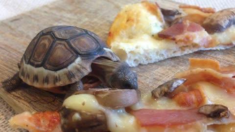 Adorable baby tortoise loves pizza