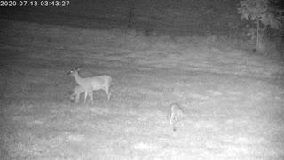 Mama Deer And Her Playful Twins