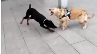 Dog martial arts