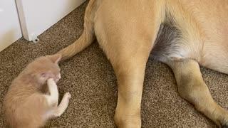 Patient mastiff lets foster kitten chew on its tail