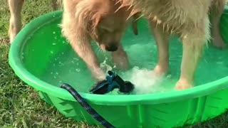 Dog play with his friend in water