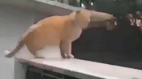 Fat ninja cat in action