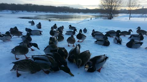 Ducks eating bread in Moscow park in winter