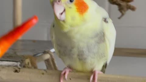 Parrot enjoys spicy pepper