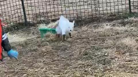 Goat friend