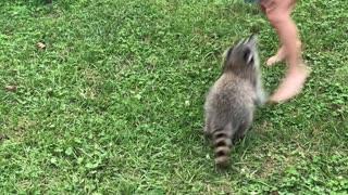 Pet Raccoon Plays with Ball in Backyard