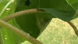 Praying mantis vs spotted lantern fly
