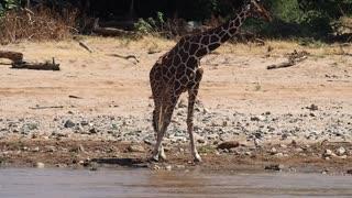 Giraffe Bending Down To Drink Water