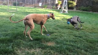 Greyhound Plays keep away with the ball