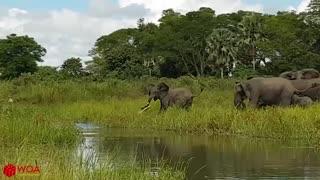Elephant Saves Baby Elephant