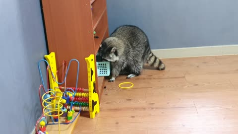 High-spirited raccoon plays with his toys like a child