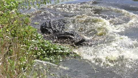 Large american alligator missed a fish