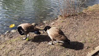 Geese enjoying the sunshine