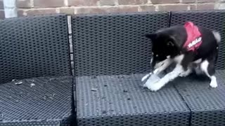 Shiba Inu performs quality control inspection for outdoor furniture