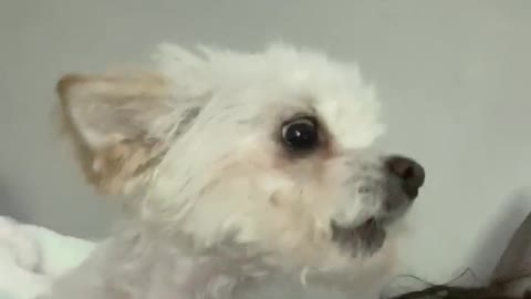Singing Doggy Howls Along With Owner's Song