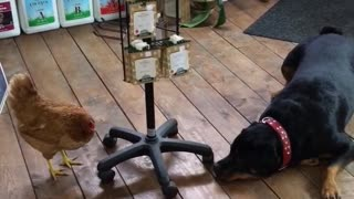 Chicken Chases Charlee