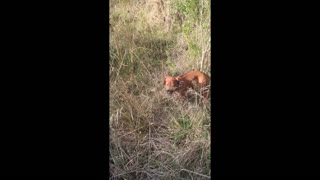 Mister Brown The Rhodesian Ridgeback; adventures with growing legs