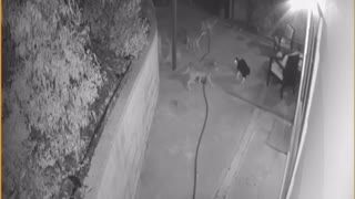 Kitty Scares Off Coyote Pack