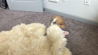 Corgi puppy and the sheep rug