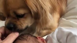 Sweet doggy preciously licks newborn baby girl