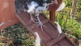 Morning Chickadee's!