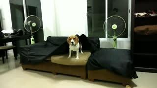 Beagle hiding under sofa cover