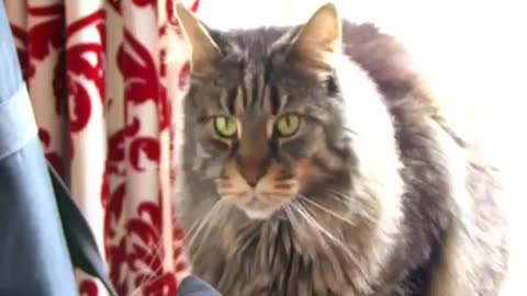 Cats , Maine Coon Cat The Gentle Giant