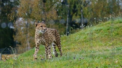 Wild cat in jungle