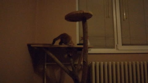 Kitten Loves Chasing His Tail On The Cat Tree