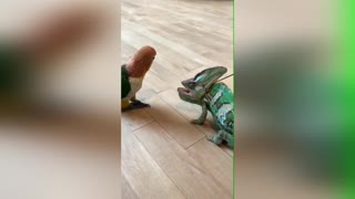 A funny clip between a parrot and a chameleon😂😂