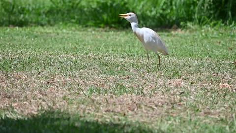 Cattle Egret Hunting in Grass, Oahu Hawaii