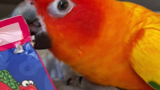 Fiery parrot gets angry at mom's candy box