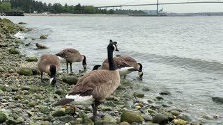 Canada Goose at Ambleside Park