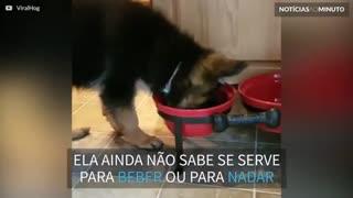 Filhote de pastor alemão tenta entrar em pote de água