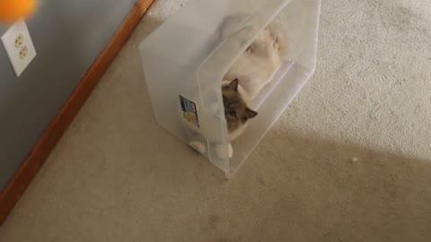 Floofy ktty Cat Playing Make Crazy