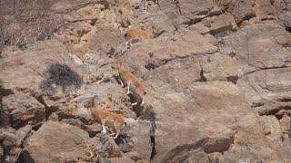 Mountain Goats Climbing