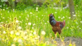 Rooster walking on a dandelion field