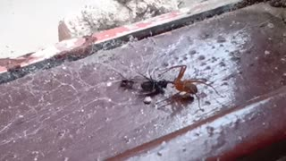 two spiders fighting for food