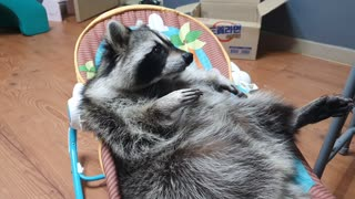Pet raccoon plays while lounging in baby cradle