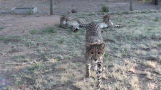 Do Cheetahs Purr?